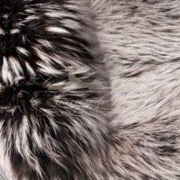 белый фин. енот крашенный под серебристую лису
