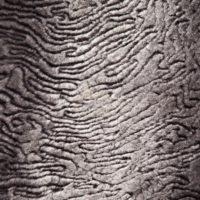 рекс каракуль серый